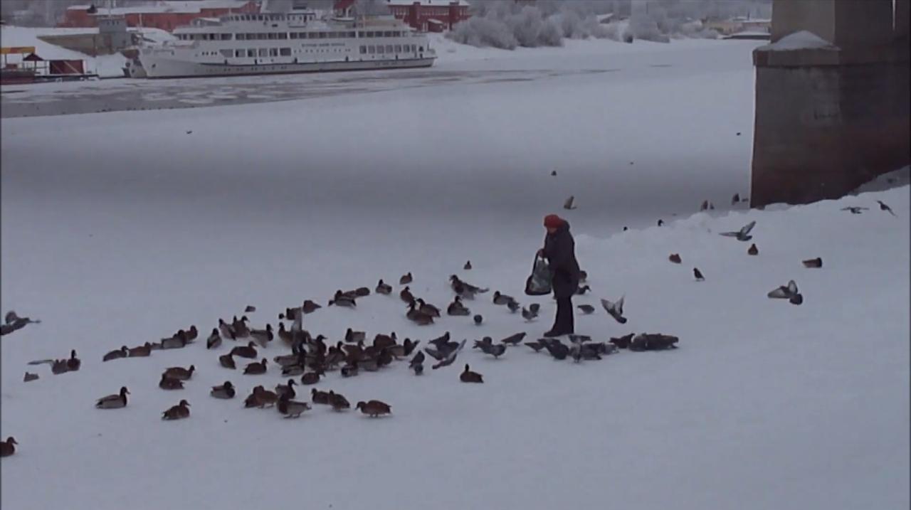 Утки продолжают захватывать территории: теперь в Великом Новгороде