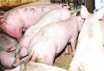 Производство мяса в Новгородской области выросло на треть