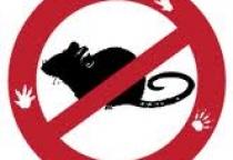В эпидемии псевдотуберкулёза среди детсадовцев Великого Новгорода подозревают грызунов