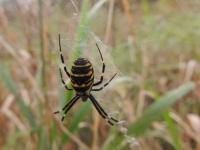 В Новгородской области обнаружен новый вид паука