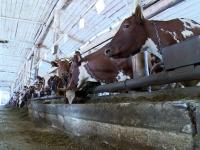 В Чудовском районе идет строительство молочной фермы с массажем для коров