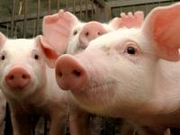 В Холмском районе для профилактики АЧС изымают свиней