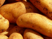 В Новгородской области сделан крупный шаг по производству картофеля на безвирусной основе