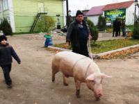 На улицах Хвойной можно встретить енотовидную собаку из леса или свинью на поводке