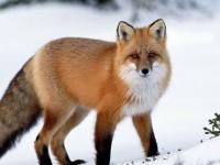 В Рдейском заповеднике в три раза выросла численность лис