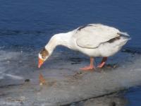 В Пестове местные жители ищут хозяина потерявшемуся гусю