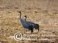 Новая парочка: в Рдейском заповеднике закрыли экотропу из-за гнездящихся журавлей