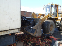 В Великом Новгороде уничтожили 19,2 тонн подкарантинных яблок из Польши