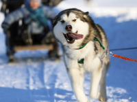 Валдайский каюр да с маламутом: новгородские гонки на собачьих упряжках