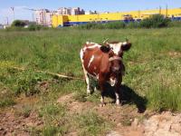 Приезжий цирк присвоил новгородскую корову?