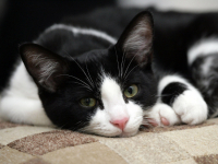 Мимими: дорожный полицейский из Шимска спас и приютил кота, которого сбила машина
