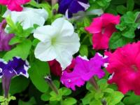 В Пестове орудуют злобные цветочные воришки