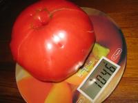 Фотофакт: жительница Парфинского района вырастила гигантский помидор