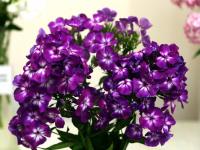 Новгородские цветоводы представят в Ботаническом саду «Седую даму» и многие другие необычные сорта флоксов