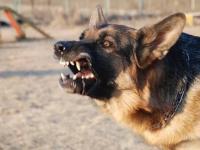 Новгородских чиновников могут привлечь к ответственности из-за нападений бродячих собак на людей