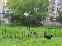 Фотофакт: стая бродячих собак на территории новгородской школы