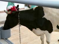 Корова Марта приветствовала ветеринаров на новой учебной ферме в Савине