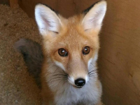 Скоро очаровательная лисичка Леся встретит новоселье в Новгородском кремле