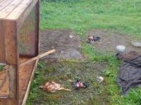 В деревнях Пестовского района медведи массово убивают цыплят