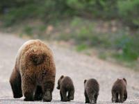 В Любытине медвежья семья вышла из лесов в самый центр поселка