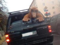 Фото: новгородцы, прячьте кошек, едет Альф!