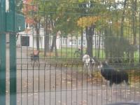 Фотофакт: в Пестове беспризорные псы встречают учеников школы №6