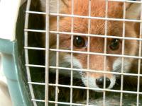 Лисичка Леся с волнением заселилась в новый дом на новгородском Соколином дворе