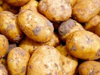 На новгородской областной ярмарке «Урожай-2017» продавали незаконный белорусский картофель