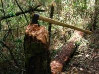 Три дровосека признали вину в вырубке новгородских лесов более чем на 3 млн рублей