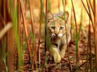 Старорусская прокуратура добилась блокировки сайта, где продавали камышового кота за 600 долларов