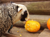 Фото: в «Витославлицах» овца хэллоуинского окраса поедает фонарь Джека