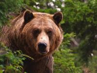 В заброшенной деревне в Новгородской области обитает медведь-каннибал