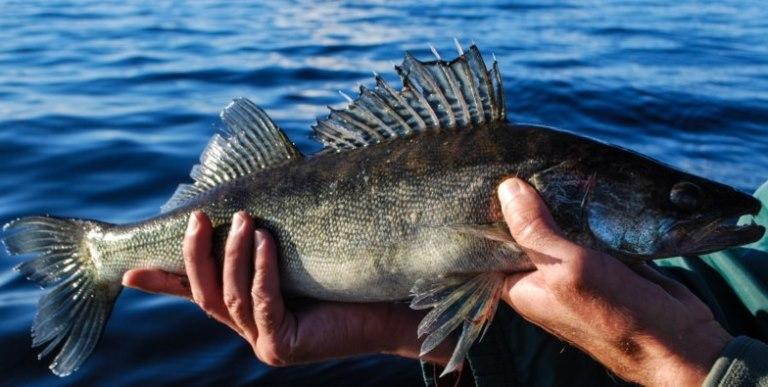 Новгородские рыбаки будут один день продавать улов по минимальной цене. Из-за философии дела