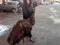 Фотофакт: по улицам Пестова страуса водили, как видно, напоказ