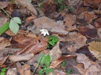 В Новгородской области подснежники запутались во временах года и начали цвести
