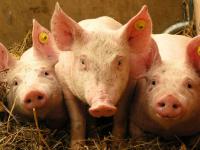Новгородских производителей мяса проверят кубинские ветеринары