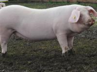«НовСвину» доверили репродукцию двух пород свиней