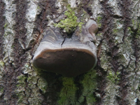 В Новгородской области будут вырубать деревья, которые пожирает Phellinus tremulae