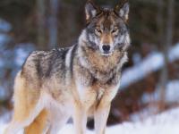 В пестовских лесах охотники столкнулись с очень умным волком