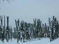 Старорусские липы превращены в страшные столбы - с надеждой на обновление