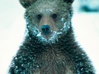 В Новгородской области решили поквитаться с молодым медведем-шатуном