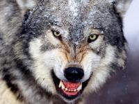 Демянский район атакуют волки