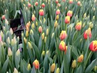 Компания «Цветы Зелёного Хозяйства» предлагает собственные тюльпаны по 35 рублей