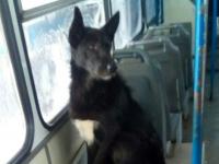 В Великом Новгороде ищут хозяев для пса-путешественника
