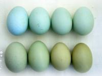 В Великом Новгороде продаются загадочные «ухейлюли» с голубыми яйцами