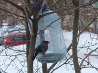Новгородцы поделились фотографиями упитанных снегирей