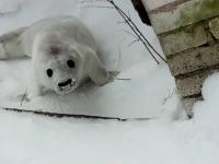 В Ленобласти тюлененок потерял маму и уполз на несколько километров от воды