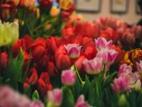 В петербургском Ботаническом саду открывается выставка тюльпанов (много фото)