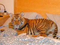В Госдуму скоро внесут законопроект о тиграх в квартирах