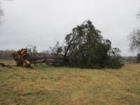 Ветер уничтожил дерево, которое видело убийцу Павла I